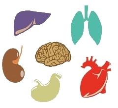 Organs & Offal