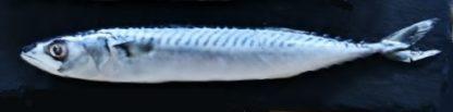 Mackerel Single